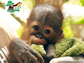 インドネシアのオランウータンを救う