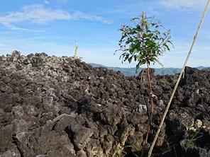 岩石だらけの土地に植林をする