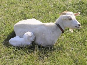 ヤギと人が幸せになる関係