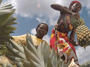 ケニアの果物生産地域に果物加工業を根付かせる
