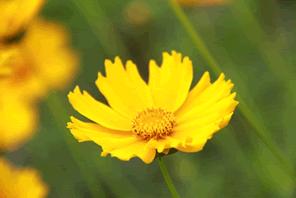 黄色い花のオオキンケイギクは特定外来生物