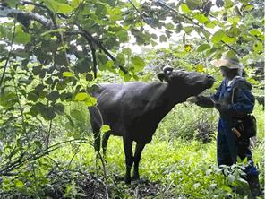 震災を生き延びた牛が大活躍する