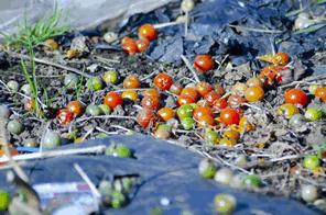 規格外野菜による野菜廃棄は年間200万トンを超える
